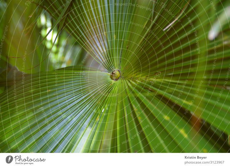 Palme Ausflug Sommer Kunst Natur Pflanze Baum Blatt Grünpflanze exotisch Insel Oase Blühend ästhetisch glänzend grün Lebensfreude Gelassenheit schön Umwelt