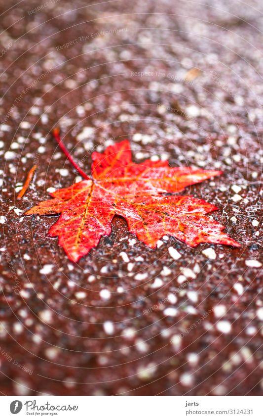 regenwetter Herbst schlechtes Wetter Regen Blatt Park Wege & Pfade liegen nass natürlich rot Natur Farbfoto Gedeckte Farben Außenaufnahme Nahaufnahme