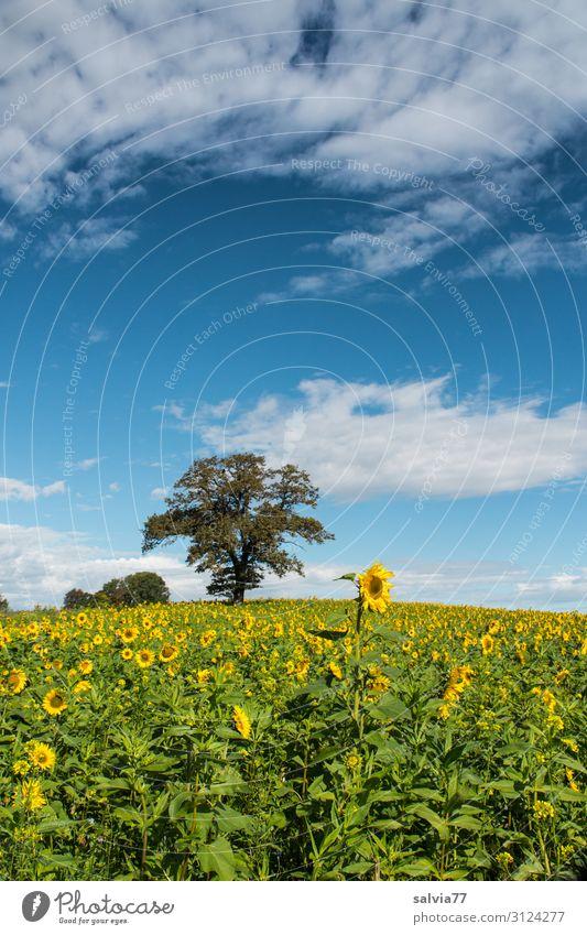 Herbstbegrünung mit Sonnenblumen Umwelt Natur Landschaft Tier Himmel Wolken Sommer Klima Schönes Wetter Pflanze Baum Blume Blüte Nutzpflanze Sonnenblumenfeld