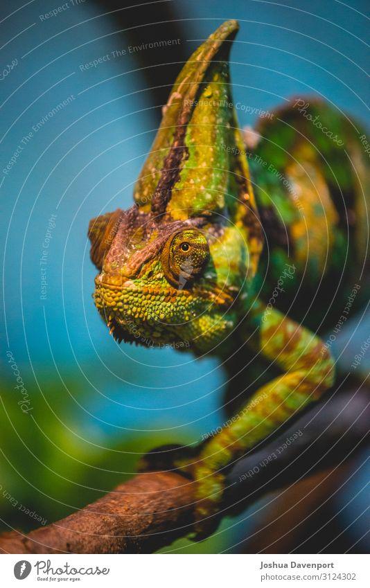 Chamäleon Tier Baum Urwald grün Panther Chamäleon Lebewesen Dschungeltiere Dschungelüberdachung Dschungel-Wildtiere Lizard Regenwald-Wildtiere Reptil Baumkrone
