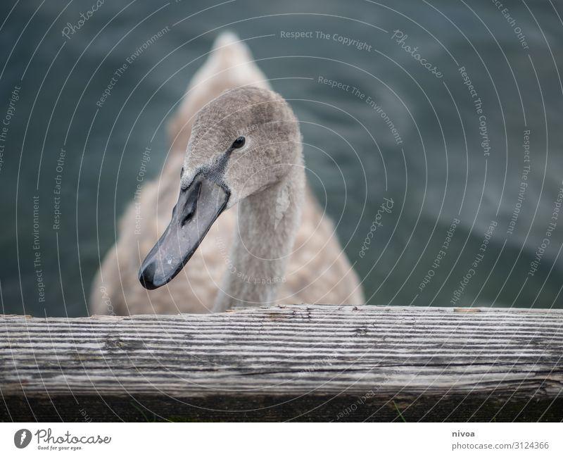 junger schwan Ausflug Freiheit Umwelt Natur See Zürich See Tier Vogel Schwan Tiergesicht Flügel 1 Holz Wasser Schwimmen & Baden beobachten warten Gesundheit