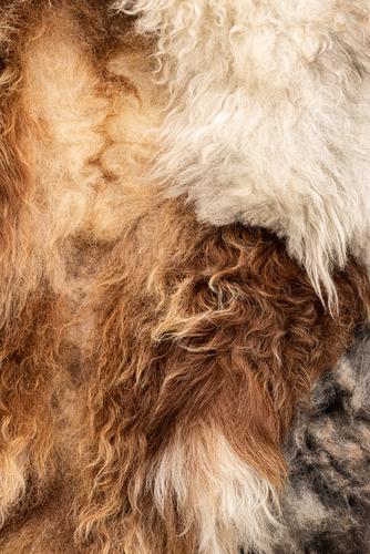 Fell abziehen gerben Schaf Wolle Nahaufnahme Detailaufnahme Makroaufnahme Gerber natürlich ökologisch Biologische Landwirtschaft