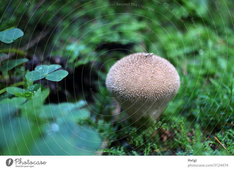 Flaschenbovist wächst im Herbst zwischen Moos und Klee Umwelt Natur Pflanze Blatt Wald stehen Wachstum ästhetisch authentisch klein natürlich braun grün
