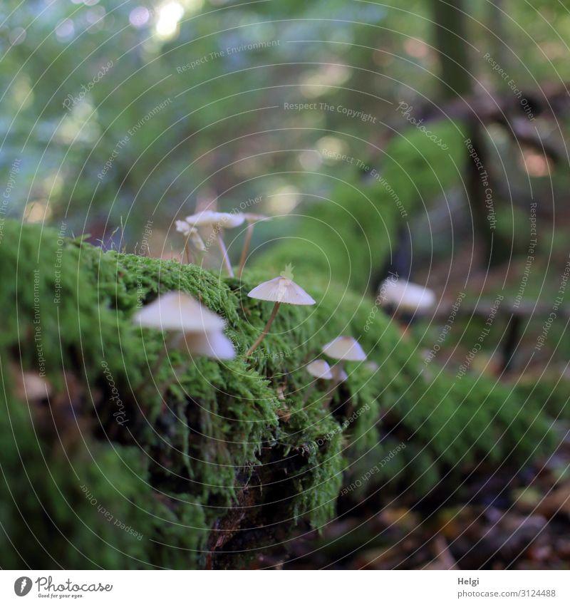 kleine Waldpilze wachsen auf einem bemoosten Baumstamm im Wald Umwelt Natur Pflanze Herbst Moos liegen stehen Wachstum einzigartig natürlich braun grau grün