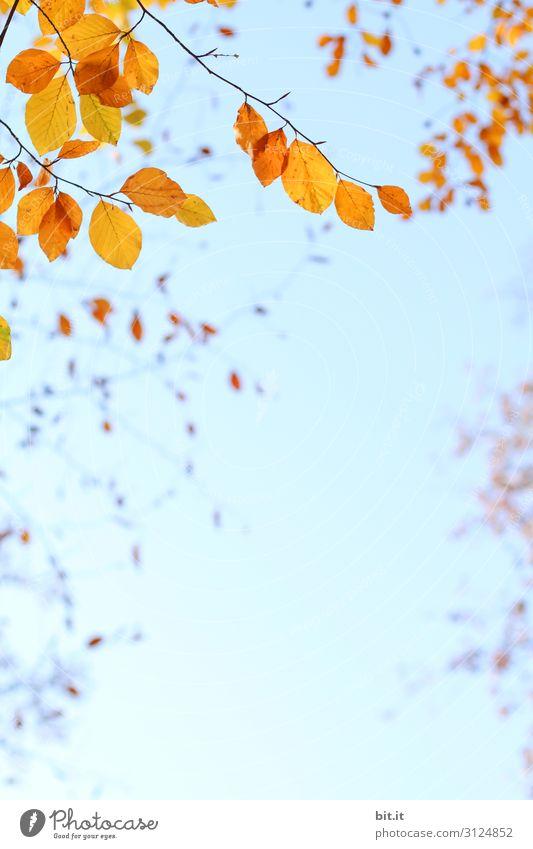 Orange Herbstblätter am Zweig, vor blauem Himmel Umwelt Natur Pflanze Luft Wolkenloser Himmel Klima Wetter Schönes Wetter Baum Blatt hängen leuchten verblüht