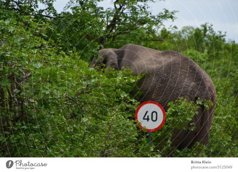 Tempolimit - gilt auch für Elefanten Abenteuer Safari Natur Sträucher Verkehr Straßenverkehr Verkehrszeichen Verkehrsschild Tier 1 fahren grau grün rot weiß