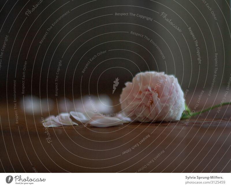 Vergänglichkeit Natur Pflanze Frühling Blume Rose Blüte alt Blühend Duft verblüht ästhetisch elegant schön rosa Gefühle Verliebtheit Romantik Mitgefühl Güte
