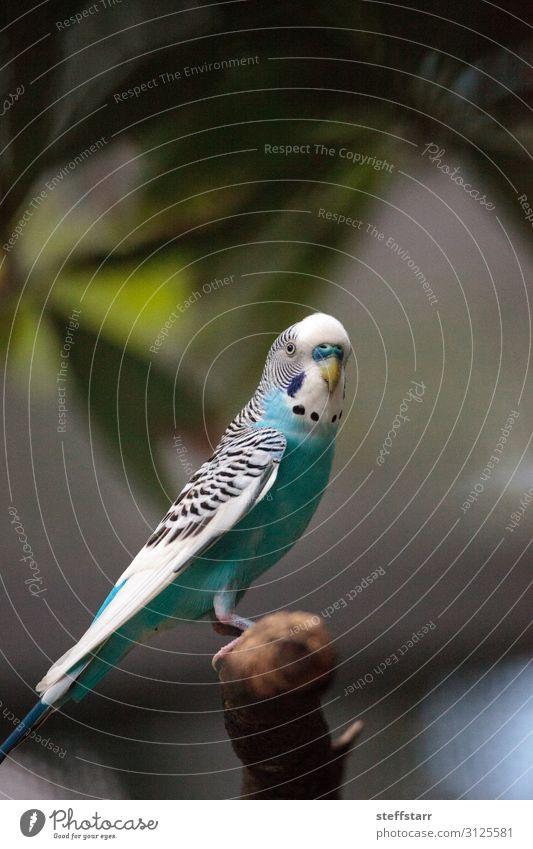 Blau-weißer Wellensittich-Sittichvogel Melopsittacus undulatus Natur Tier Baum Haustier Wildtier Vogel 1 blau türkis Melopsittacus wellenförmig