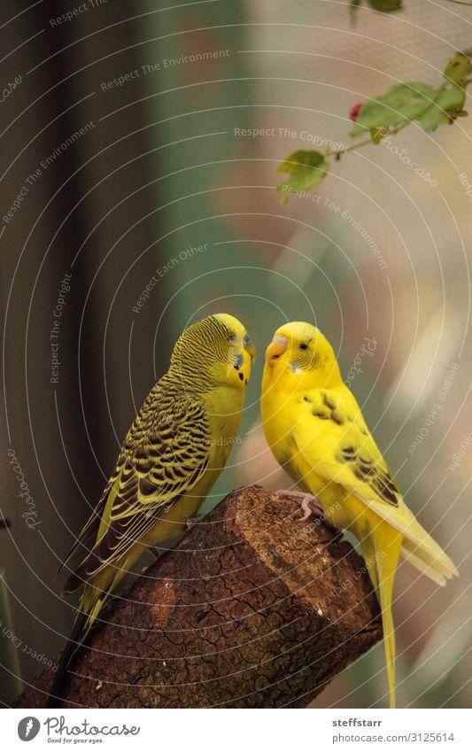 Umzäunung von Wellensittichen Vögeln Melopsittacus undulatus Natur Tier Baum Haustier Wildtier Vogel 2 Brunft gelb umwerbend Gerichtsgebäude Paarung