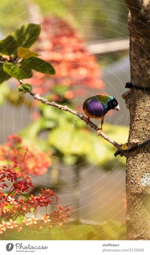 Bunte Lady Guldian Finke Erythrura gouldiae Essen Natur Tier Baum Vogel blau grün violett rot Lady Guldianischer Fink farbenfroh regenbogenfarben Samen