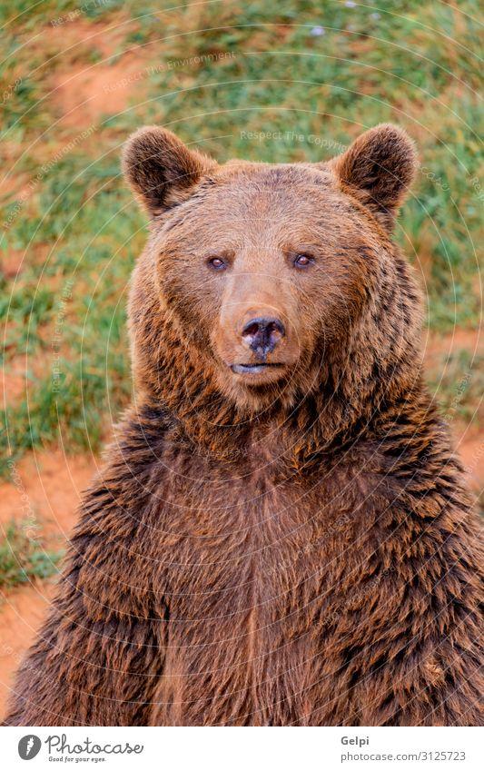 Porträt eines braunen spanischen Bären Mann Erwachsene Mund Natur Tier Park Wald Pelzmantel Teddybär Aggression groß stark wild schwarz Kraft Appetit & Hunger