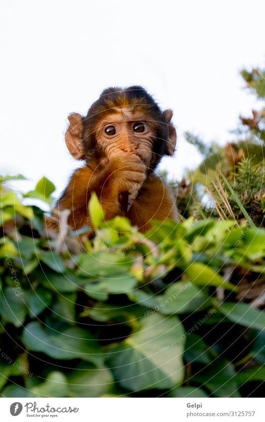 Lustiger kleiner Affe hinter vielen Blättern exotisch Gesicht Ferien & Urlaub & Reisen Kind Baby Frau Erwachsene Zoo Natur Tier Wald Urwald sitzen lustig