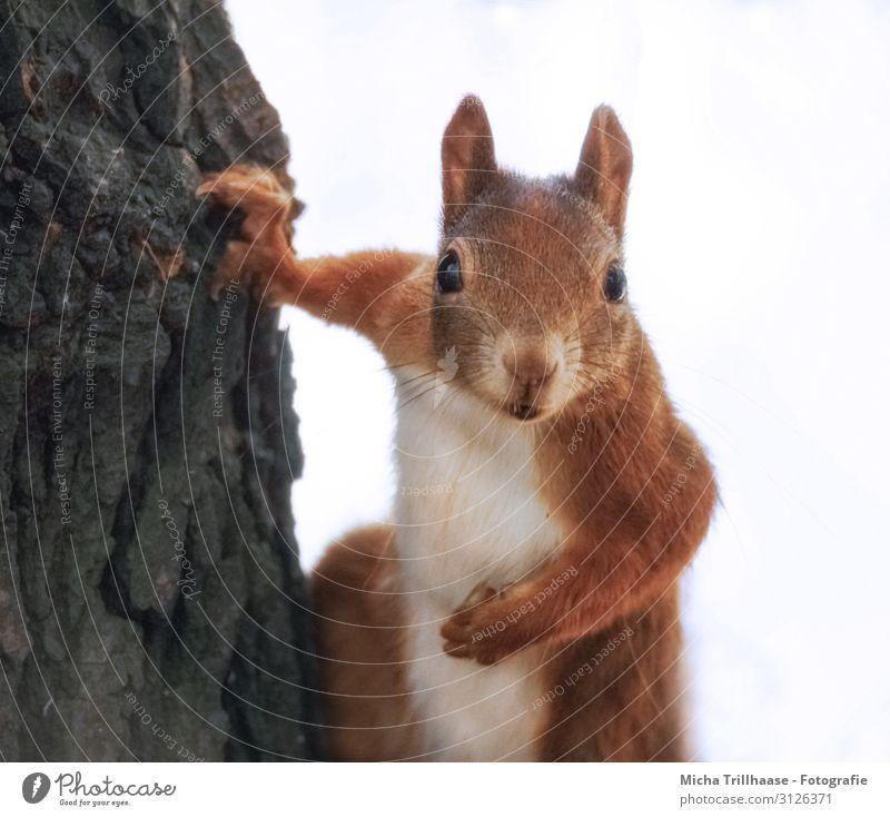 Neugieriges Eichhörnchen am Baum Natur Tier Sonnenlicht Baumstamm Wald Wildtier Tiergesicht Fell Krallen Pfote Kopf Auge Ohr Nase Maul Nagetiere 1 beobachten