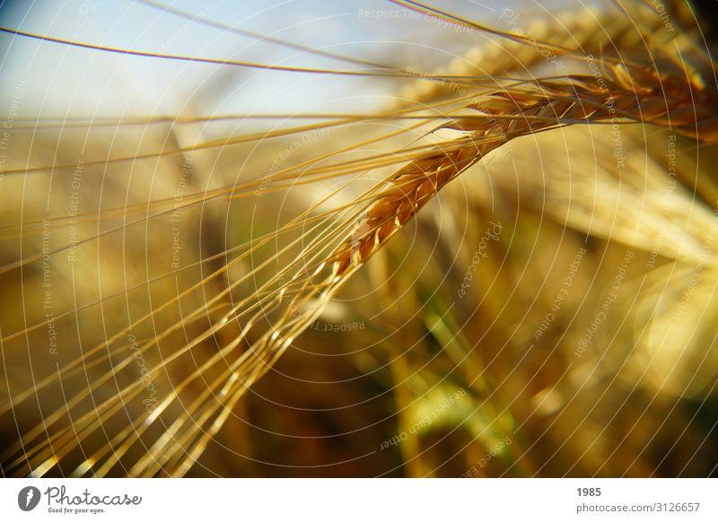 Weizenähre Natur Pflanze Herbst Gras Feld gelb Farbfoto Nahaufnahme Detailaufnahme Menschenleer Textfreiraum unten Tag Schwache Tiefenschärfe Porträt