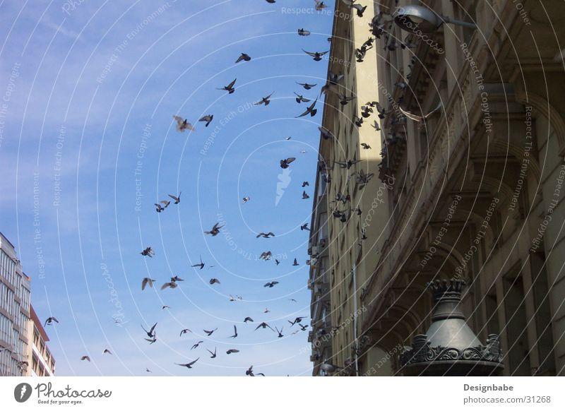 Tauben in Barcelona Vogel Stadt Schwarm Freiheit Himmel fliegen