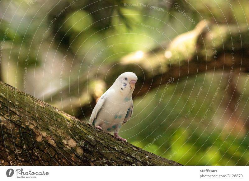 Weißer Wellensittich-Sittichvogel Melopsittacus undulatus Natur Tier Haustier Vogel 1 weiß Melopsittacus wellenförmig weißer Wellensittich Papagei Wildvogel