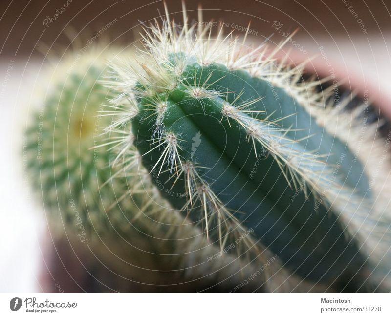 Kaktus grün Pflanze Spitze Stachel