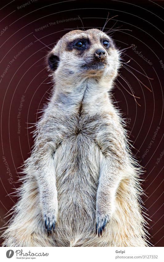 Erdmännchen (Suricata suricatta), auch bekannt als das Erdmännchen. Gesicht Safari Zoo Natur Tier sitzen stehen klein niedlich wild Vorfreude Nervosität