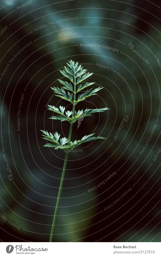 Möhrenblatt Natur Pflanze grün Blatt glänzend Bioprodukte Vegane Ernährung Nutzpflanze Grünpflanze Wurzelgemüse hochkant