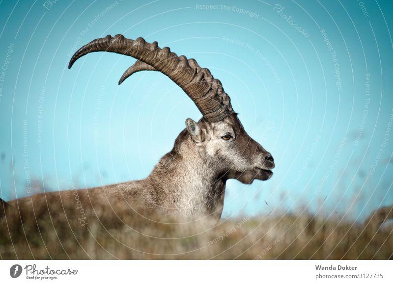Capricorn Freizeit & Hobby Tourismus Ausflug Abenteuer Expedition Berge u. Gebirge wandern Natur Tier Wolkenloser Himmel Herbst Gras Alpen Wildtier Tiergesicht