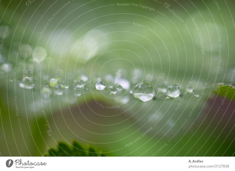 Frauenmantel mit Regentropfen Alternativmedizin Wellness harmonisch Sinnesorgane Spa Garten Natur Pflanze Wassertropfen Wildpflanze Park Tropfen entdecken