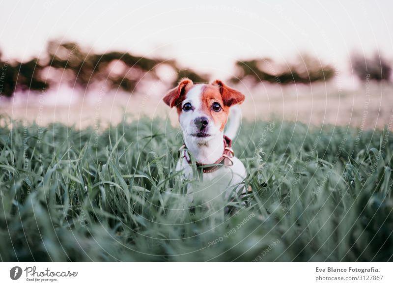 süßer kleiner Jack Russell Hund auf dem Land zwischen grünem Gras Lifestyle Freude Erholung Freizeit & Hobby Spielen Natur Landschaft Tier Sonnenaufgang