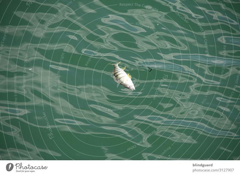 The Fish Is Dead Sommer grün Wasser weiß Tier schwarz Umwelt Tod See Schwimmen & Baden Schönes Wetter Vergänglichkeit nass Fisch Ende
