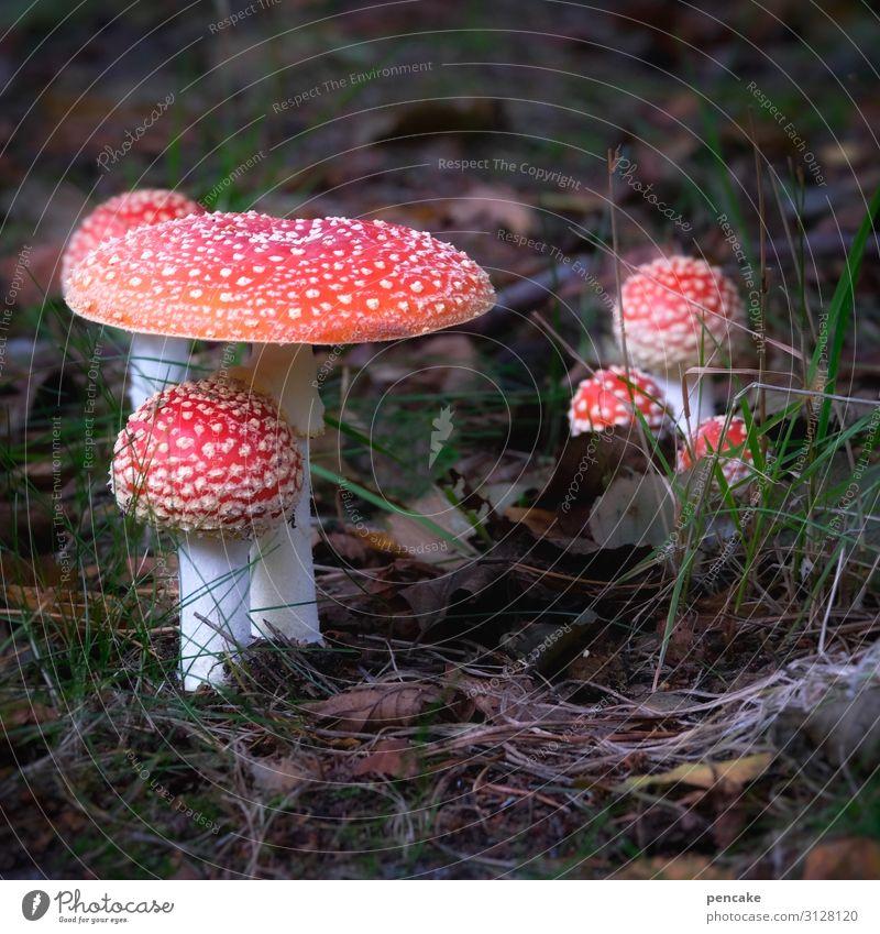 und ewig grüßt der fliegenpilz Natur Pflanze schön Wald Herbst mehrere Erde Urelemente Pilz Fliegenpilz