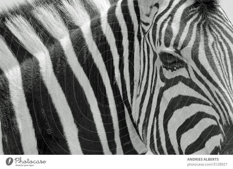 Zebrastreifen - Ikonische Kunst in der Natur Ferien & Urlaub & Reisen Tourismus Ausflug Abenteuer Sightseeing Safari Umwelt Tier Wildtier Zebra-Hintergrund 1