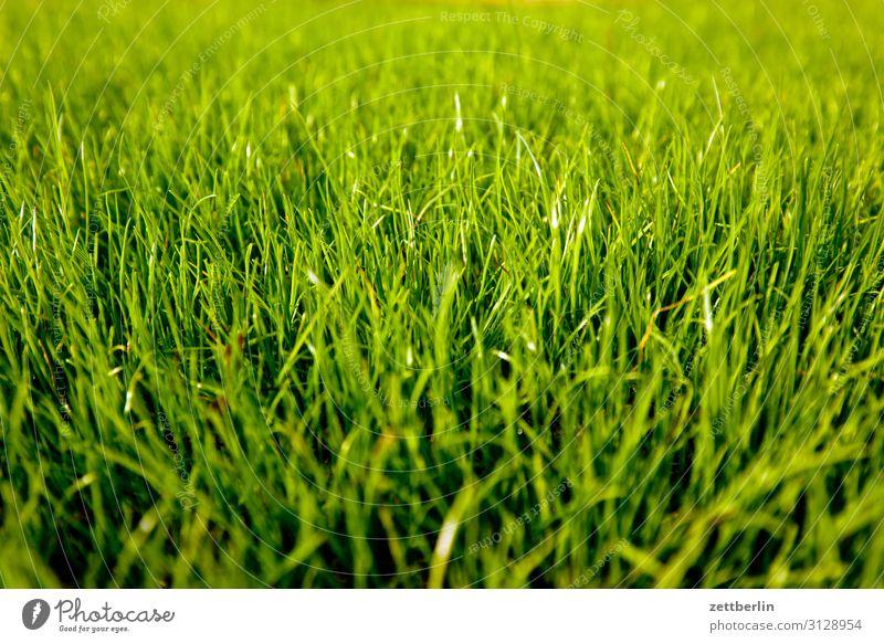 Frisches Gras Garten Schrebergarten Kleingartenkolonie Menschenleer Natur Rasen Sportrasen Sommer Textfreiraum Tiefenschärfe Wiese Aussaat frisch Halm grün
