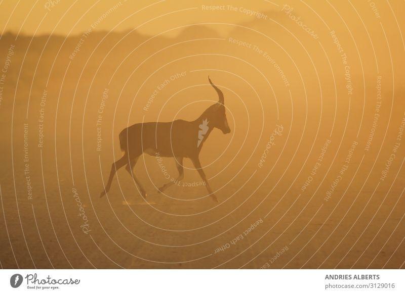 Blesbok Run - Wildtiere aus Afrika Ferien & Urlaub & Reisen Tourismus Ausflug Abenteuer Freiheit Safari Sommer Sommerurlaub Sonne Umwelt Natur Landschaft Tier