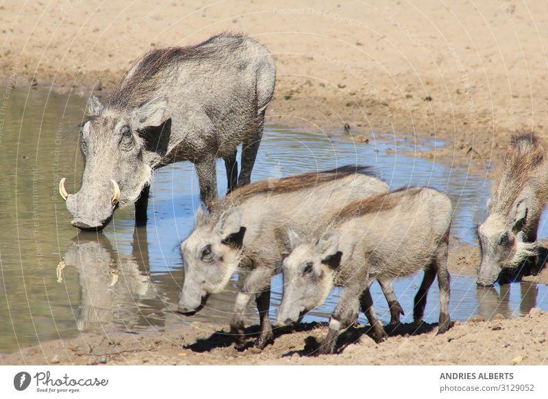 Warzenschwein-Familie - Afrikanische Tierwelt Ferien & Urlaub & Reisen Tourismus Abenteuer Freiheit Sightseeing Safari Expedition Sommer Sommerurlaub Sonne