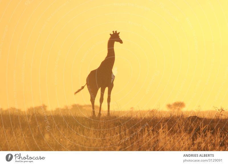 Giraffen-Silhouette - Wildniswunder aus Afrika Ferien & Urlaub & Reisen Tourismus Ausflug Abenteuer Freiheit Safari Expedition Sommer Sommerurlaub Sonne Umwelt