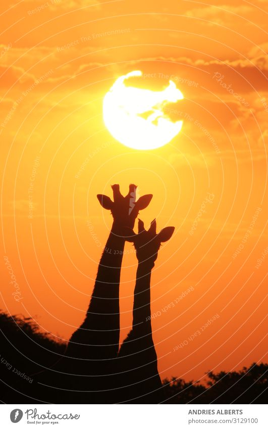 Giraffen-Silhouette - Unter einer magischen Sonne Ferien & Urlaub & Reisen Tourismus Ausflug Abenteuer Freiheit Sightseeing Safari Expedition Sommer