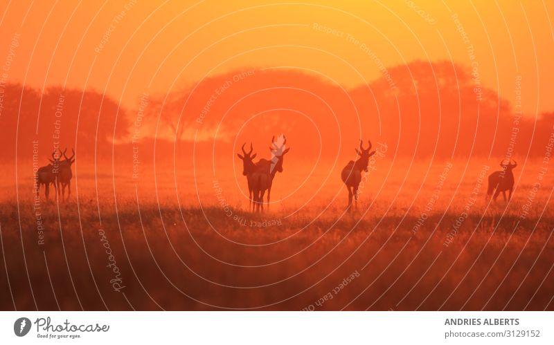 Hartebeest - Silhouette eines roten Sonnenuntergangs Ferien & Urlaub & Reisen Tourismus Ausflug Abenteuer Freiheit Sightseeing Safari Expedition Umwelt Natur