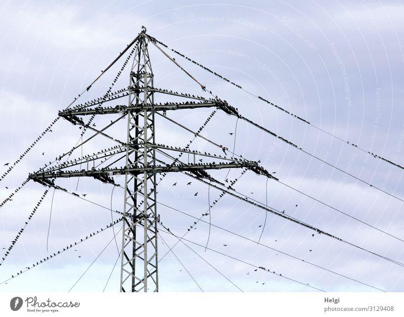 Versammlung der Stare Himmel Natur blau Tier schwarz Leben Herbst Umwelt klein außergewöhnlich Vogel Zusammensein grau fliegen Energiewirtschaft Wildtier