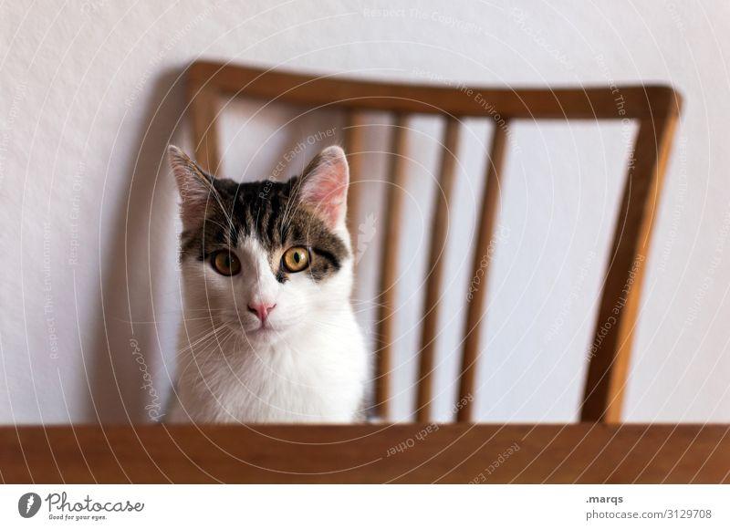 Kalle Kallinski Tier Haustier Katze 1 Stuhl Tisch sitzen warten Tierliebe Wachsamkeit Neugier Interesse Appetit & Hunger kalle Farbfoto Innenaufnahme
