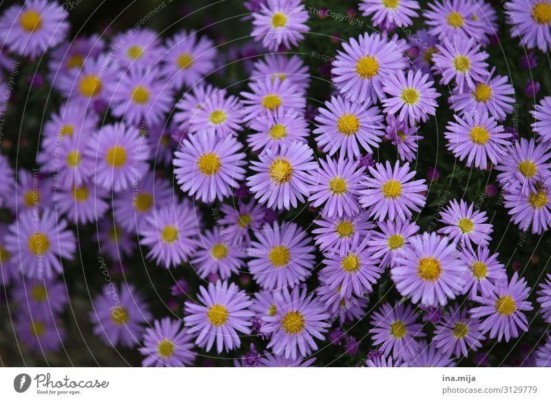 _ Umwelt Natur Pflanze Herbst Blume Chrysantheme Garten Park gelb violett Fröhlichkeit Leben Duft gleich Idylle Lebensfreude Blumenwiese Blumenbeet Farbe