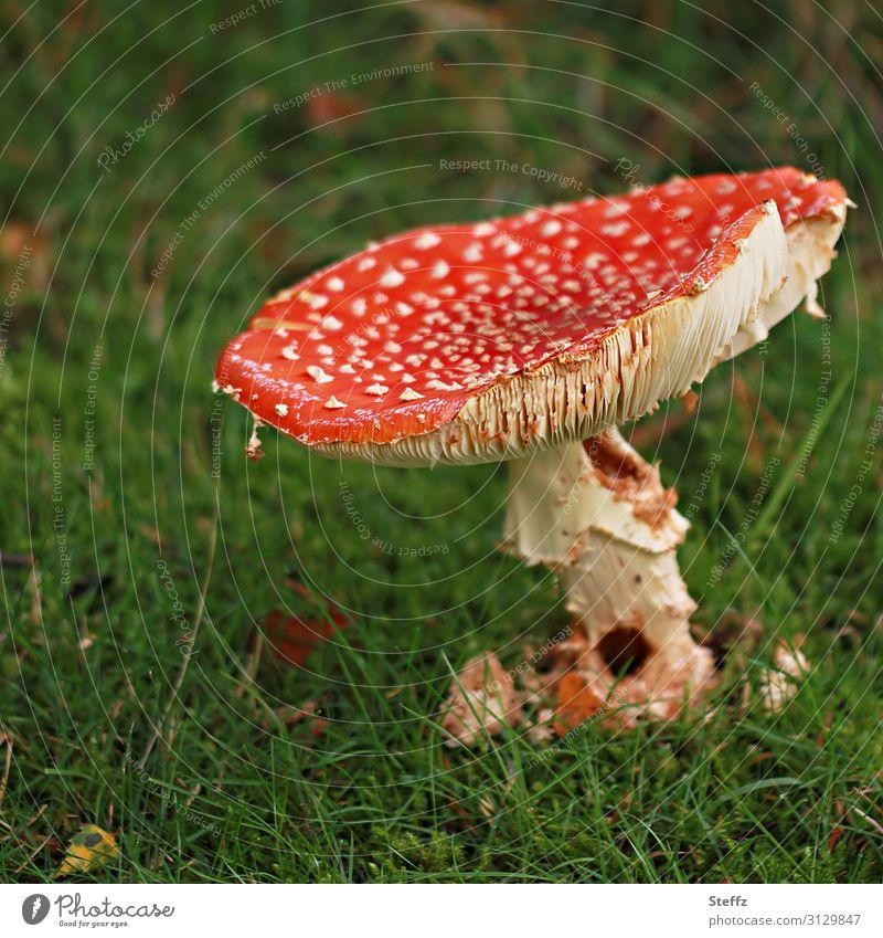 ein Senior Fliegenpilz alt Pilz giftiger Pilz Amanita muscaria Pilzhut authentisch unattraktiv Einsamkeit Verfall gealtert Vergänglichkeit betagt echt verfallen