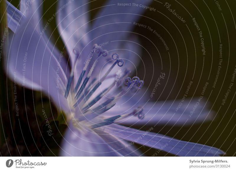 Elfchen Umwelt Natur Pflanze Sommer Blume Blüte Wildpflanze Blühend ästhetisch elegant frech Fröhlichkeit Gesundheit Glück schön natürlich Neugier saftig blau