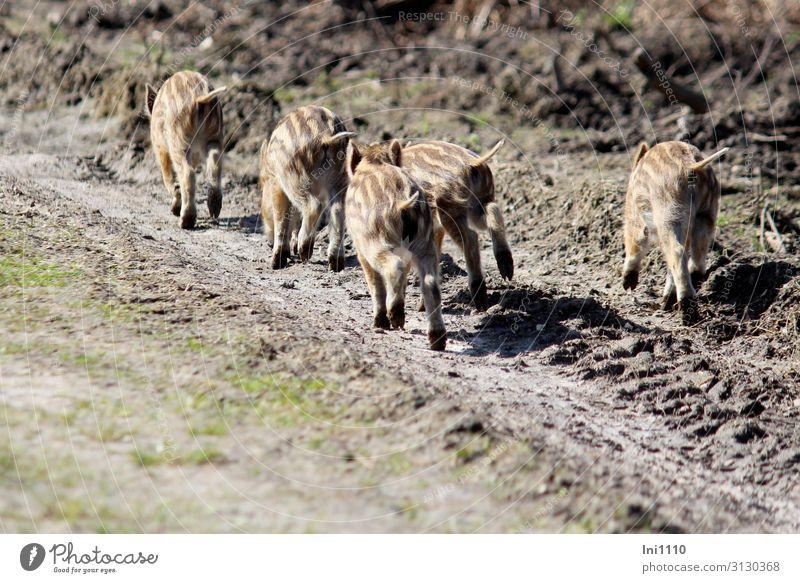 fünf Frischlinge in Rückansicht auf Waldweg bringen sich in Sicherheit Park Wildtier Wildschwein Tiergruppe Tierjunges braun gelb grau schwarz weiß Schwanz