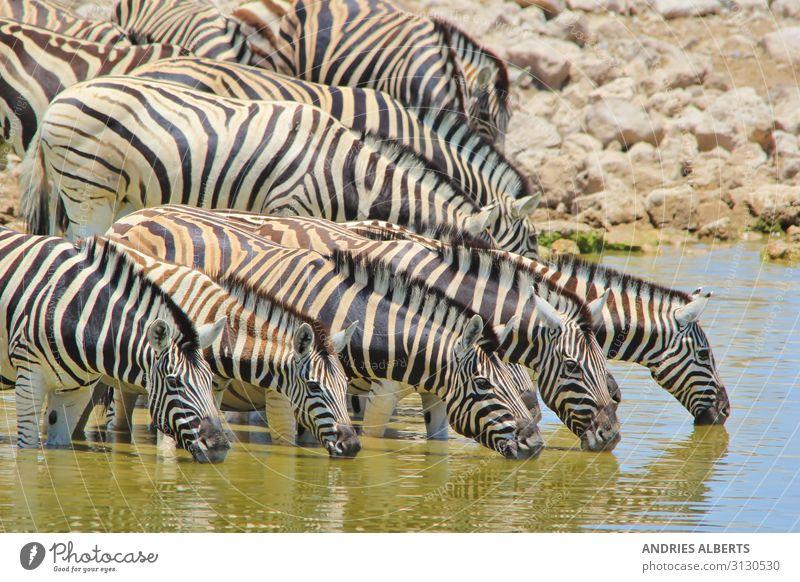 Zebramagie - Spiegelung von Streifen Erholung ruhig Ferien & Urlaub & Reisen Tourismus Ausflug Abenteuer Freiheit Sightseeing Safari Expedition Sommer