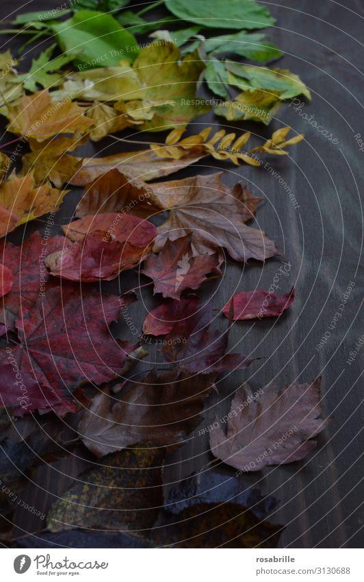 Herbstlaub in Regenbogenfarben Erntedankfest Umwelt Natur Blatt Holz fallen leuchten braun gelb grün orange rot unbeständig Vergänglichkeit Wandel & Veränderung