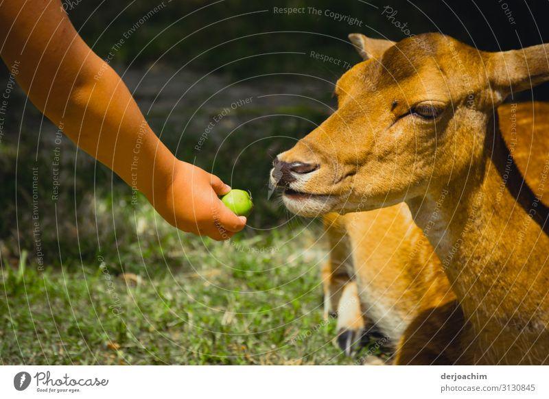 Firlefanz / dem Reh einen Apfel geben mit Kinderhand Mensch Sommer Hand Tier Freude Tierjunges feminin Gefühle Deutschland außergewöhnlich Frucht Ausflug Park