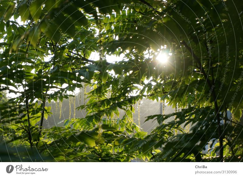 Sommerabend im Park Umwelt Natur Landschaft Pflanze Sonne Sonnenaufgang Sonnenuntergang Sonnenlicht Frühling Baum Blatt Grünpflanze Wildpflanze glänzend Blick
