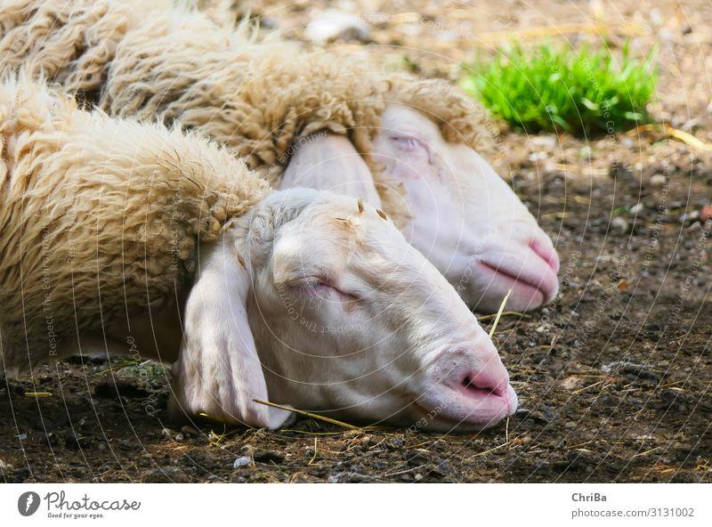 Süße Träume Natur Tier Frühling Haustier Nutztier Tiergesicht 2 Tierpaar atmen schlafen Gesundheit gut kuschlig natürlich Wärme weich grau grün weiß Vertrauen