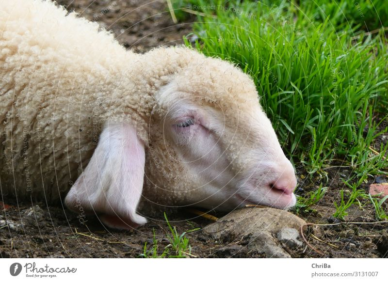 Sweet Dreams Umwelt Natur Tier Erde Frühling Schönes Wetter Pflanze Gras Dorf Bauernhof Landwirtschaft Haustier Nutztier Tiergesicht Schaf Lamm schlafen frei