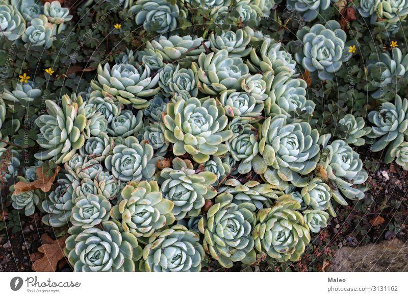 Sammlung von kleinen dekorativen Sukkulenten Dekoration & Verzierung Blume Zimmerpflanze Pflanze Blumentopf grün Natur Botanik Kaktus Wachstum Garten schön