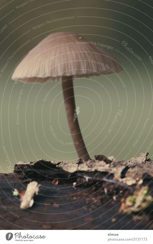 ein Männlein steht im Walde Natur Pflanze Herbst Pilz Pilzhut Gift Pilzkopf Wachstum dünn klein Genusssucht Feindseligkeit Angst bizarr nackt Erotik Umwelt