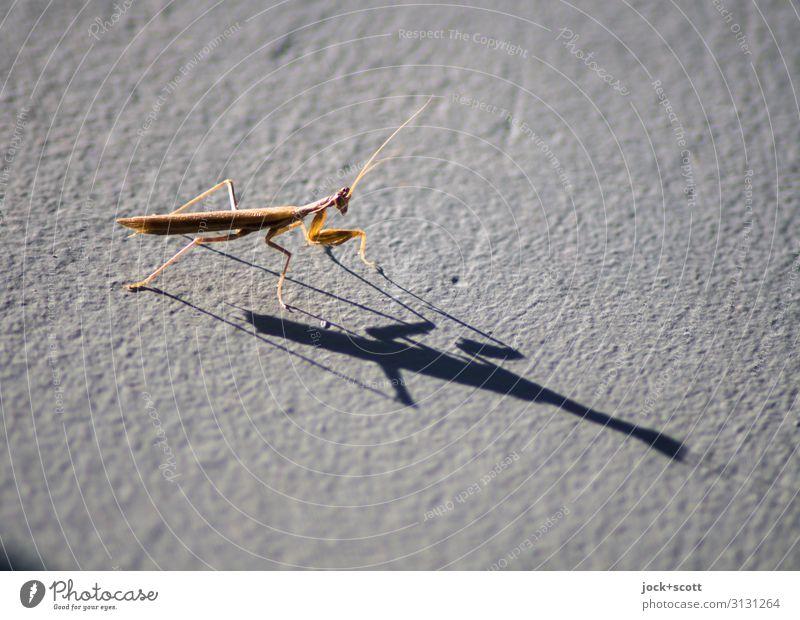 Insekt mit Schatten Griechenland Gottesanbeterin 1 Oberflächenstruktur sitzen warten authentisch klein lang nah niedlich dünn Wärme Stimmung Perspektive